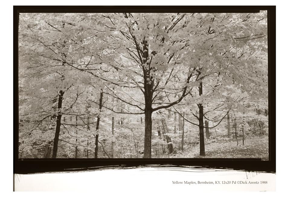 Yellow Maples, Bernheim, Kentucky