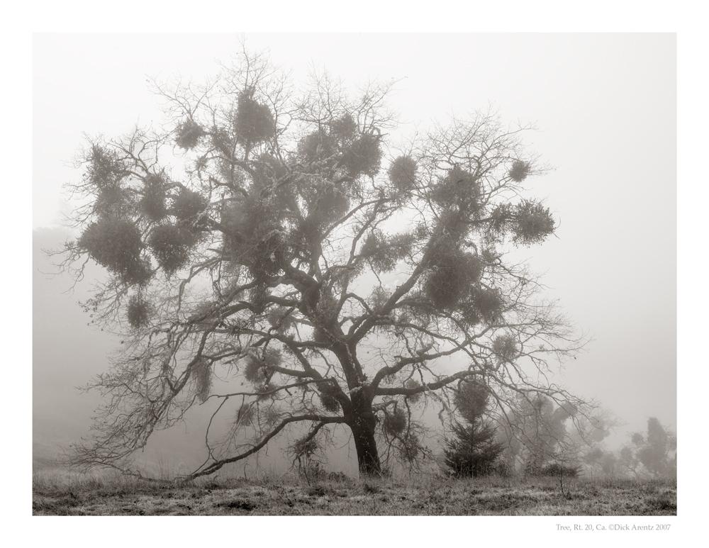 Tree, Rt 20, Ca 2007